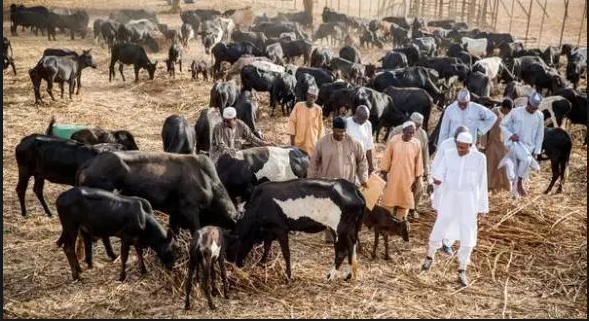 Abia Cattle Market - The Big Problem In Abia Govt's Hands