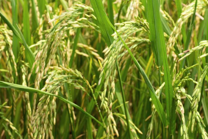 Rice production Hopes Raised In Imo State