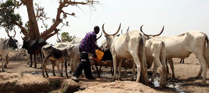 The Problem With The Fulanis And Their Cows
