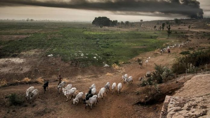 Abia Govt Blows Hot Over Destruction Of Farmlands By Cows